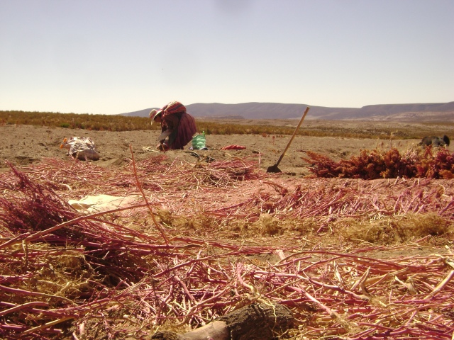 women harvesting quinoa_pic by gabriela ruesgas