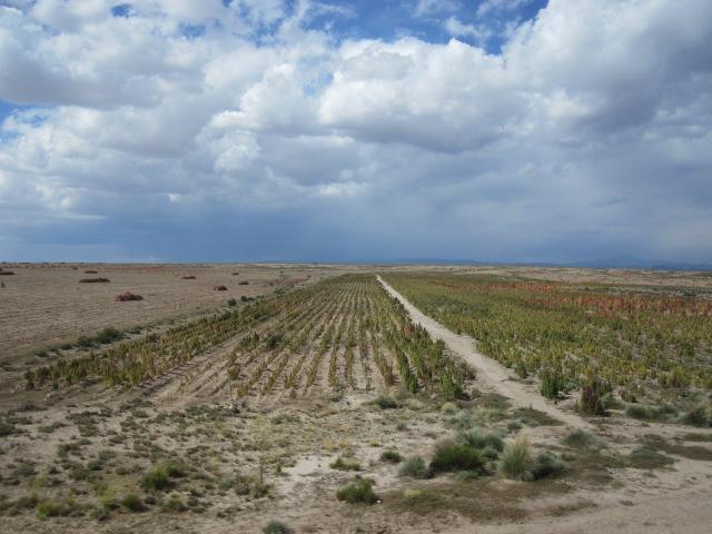 IMG_2759 quinua afectada por clima